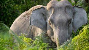Habitat Gajah Sumatera