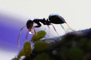 Jenis-jenis semut